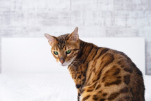 Funny Sad Disappointed Bengal Red Cat Sitting Back On Bed In Light Interior, Looking Down. Close-up Of Cute Pet