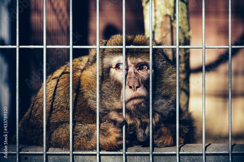 Canvastavla Sad monkey behind bars
