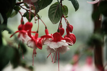 Hanging Red And White Flower
