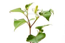 ドクダミ 1 (fish Mint. Fish Herb. Fishwort. Lizard Tail. Chameleon Plant. Heartleaf. Bishop's Weed)