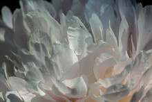 Pfingstrosen In Ihrer Ganzen Pracht, Von Rosa In Weiß übergehend.