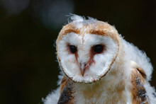 Portrait Of A Cute Juvenile Barn Owl (Tyto Alba) With A Black Background In Noord Brabant In The Netherlands.