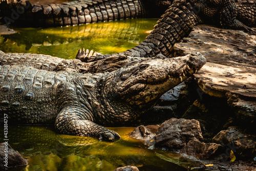 Mugger Or Marsh Crocodile Living At The Madras Crocodile Bank Trust and Centre f Fotobehang