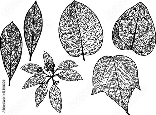 葉脈がはっきりと見える繊細な葉っぱの白黒のイラストセット ベクター素材 Fototapeta