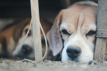 Beagles Sleeping On Dirt, Relaxing In The Farm.
