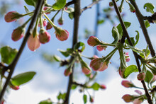 Cherry Blossom Festival. Sakura Flowers In Spring Over Blue Sky. Tree Buds In Spring. Young Large Buds On Branches Against Blurred Background Under The Bright Sun.