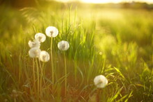 Sunny Field With Fluffy Dandelion Flowers In Green Grass At Sunset