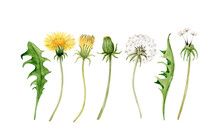Set Of Watercolor Illustrations Of Yellow Meadow Flowers Dandelion And Green Leaves On A White Background. Hand Painted For Design And Invitations.