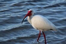 White Ibis Bird At The Lake Shoreline