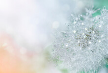 Abstract Dandelion Flower With Dew Drops On A Blurred Background With Defocused Highlights. Soft Focus, Close-up, Macro Photography.