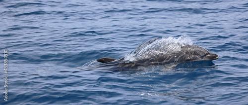 Fotografering baby bottlenose dolphin