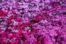 一面に咲く芝桜の接写