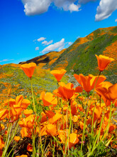 Bright Orange California Golden Poppies In The Foreground And Green Rolling Hills, Covered In The State Flower In The Background Against A Blue Sky With Clouds. Depth Of Field