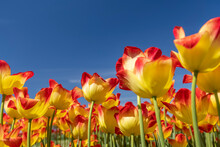 Colorful Tulip Flowers Against Blue Sky Background