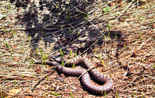 Closeup Shot Of A Dead Snake In A Field