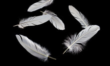 Group Of White Bird Feathers Falling Down In The Dark. Black Background.