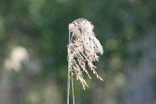 Dried Common Reed Close-up View With Green Background