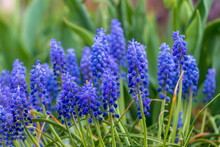 Grape Hyacinth, Muscari Blue-purple With Rain And Dew Drops In The Grass In The Garden With Plants In The Background.