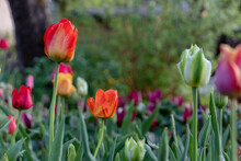 Red Orange, White, Green, Purple And Yellow Tulips In A Flower Garden After The Rain With Raindrops And A Blurred Background Of The Garden On The Branches, Shrubs And Trees.