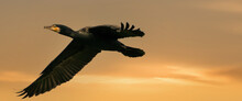 A Panorama Of A Detailed Cormorant In Flight With Spread Wings. Against A Golden Sky With Yellow Clouds. Copy Space, Cover, Webbanner, Social Media