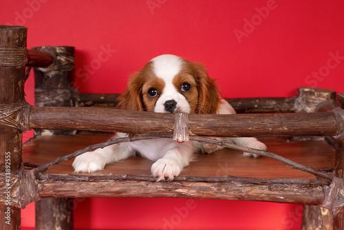 Fototapeta Purebred cute puppy  dog Cavalier King Charles Spaniel
