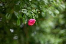 虫が止まるピンク色の薔薇
