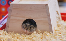 A Gray Dzungarian Hamster Looks Out Of Its House. Dwarf Hamster.