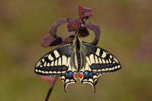 The Wonderful Swallowtail Butterfly (Papilio Machaon)