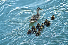 Mother Duck And Its Littles