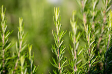 Close Up Of Sprigs Of Rosemary In In The Field.