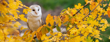 Panorama Barn Owl In A Tree During Autumn Or Fall Panoramic Web Banner Header