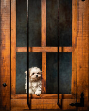 Cute Westie Puppy Standing On A Wooden Window Frame With Smoke Behind