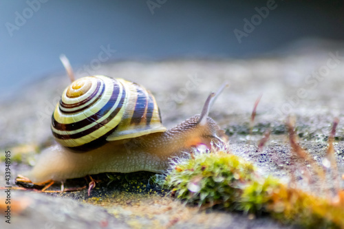 Canvas Banded garden snail with a big shell in close-up and macro view shows interestin