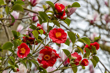 Unusual Two Tone Flowers Of Camellia Japonica Alexander Hunter In Spring