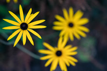 Rudbeckia Hirta, Commonly Called Black-eyed Susan. Yellow Rudbeckia On A Green Background Close-up In A Summer Gard.