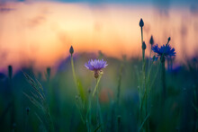 Beautiful Blue Cornflowers Blooming In The Field In Golden Sunset Light. Wildflowers In Northern Europe.
