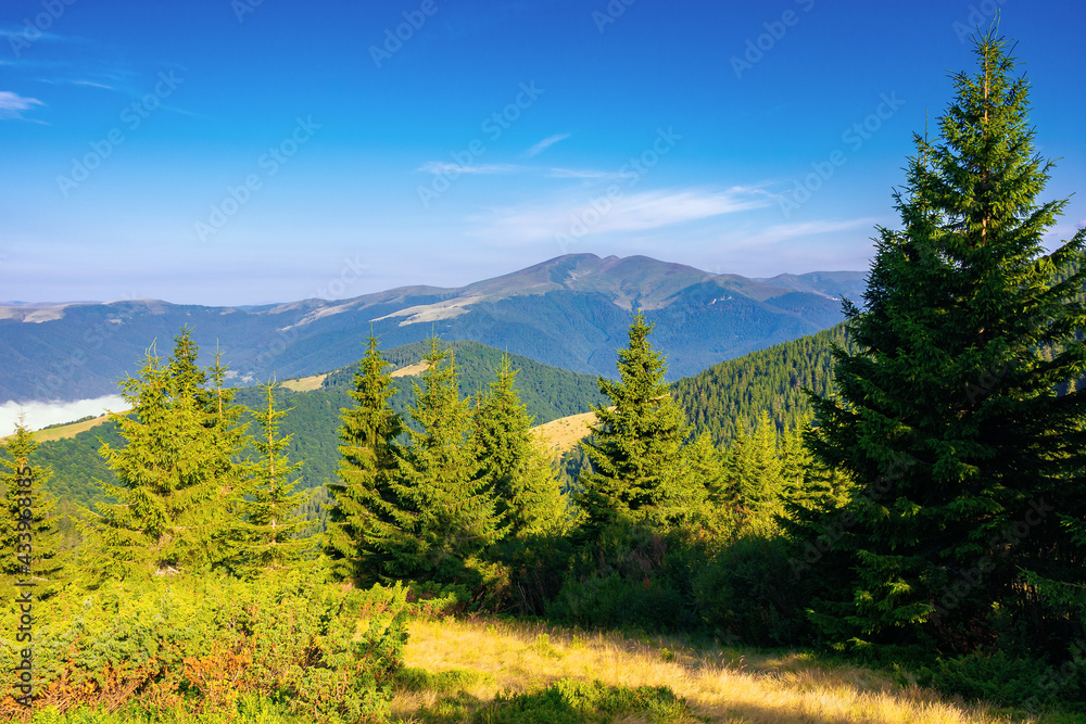 coniferous forest on the mountain hill. beautiful summer nature scenery in the morning. idyllic nature background
