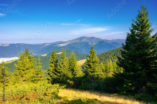 coniferous forest on the mountain hill. beautiful summer nature scenery in the morning. idyllic nature background - fototapety na wymiar