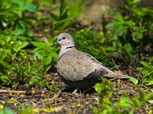 Eurasian Collared Dove (Streptopelia Decaocto). Pigeon In The Park.
