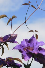 """Clematis """" The President""""."""