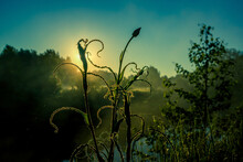 Strange Looking Wild Plant Growing In The Meadow. Summertime Scenery During Sunrise In Northern Europe.