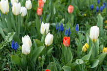 A Spring Garden With Tulips And Grape Hyacinths