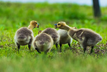 Country Goose And Ducklings
