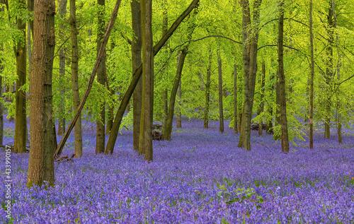 Billede på lærred British forest full of Bluebells (Hyacinthoides) flowers