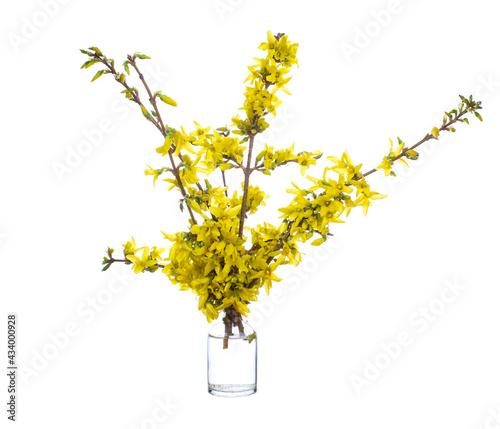 Fotografie, Obraz Forsythia (Forsythia suspensa) in a glass vessel on a white background