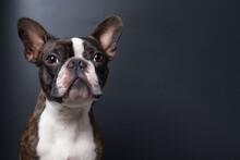 Portrait Boston Terrier Pure Breed Dark Background Closeup Copyspace
