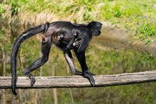 Geoffroy's Spider Monkey (Ateles Geoffroyi), Also Known As The Black-handed Spider Monkey Is A Type Of New World Monkey, From Central America. Mother With Child Walking On A Tree.