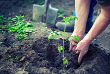 Male Hands Planting The Tomato Seedling Into The Soil In Greenhouse Farm. Agriculture And Gardening Concept.