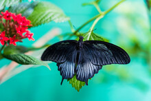 Top View Of A Blue Swallowtail Butterfly (Battus Philenor,  Pipevine Swallowtail)