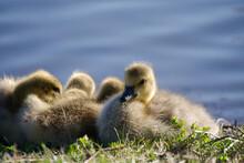 Sleepy Ducklings And Goslings Near Lake